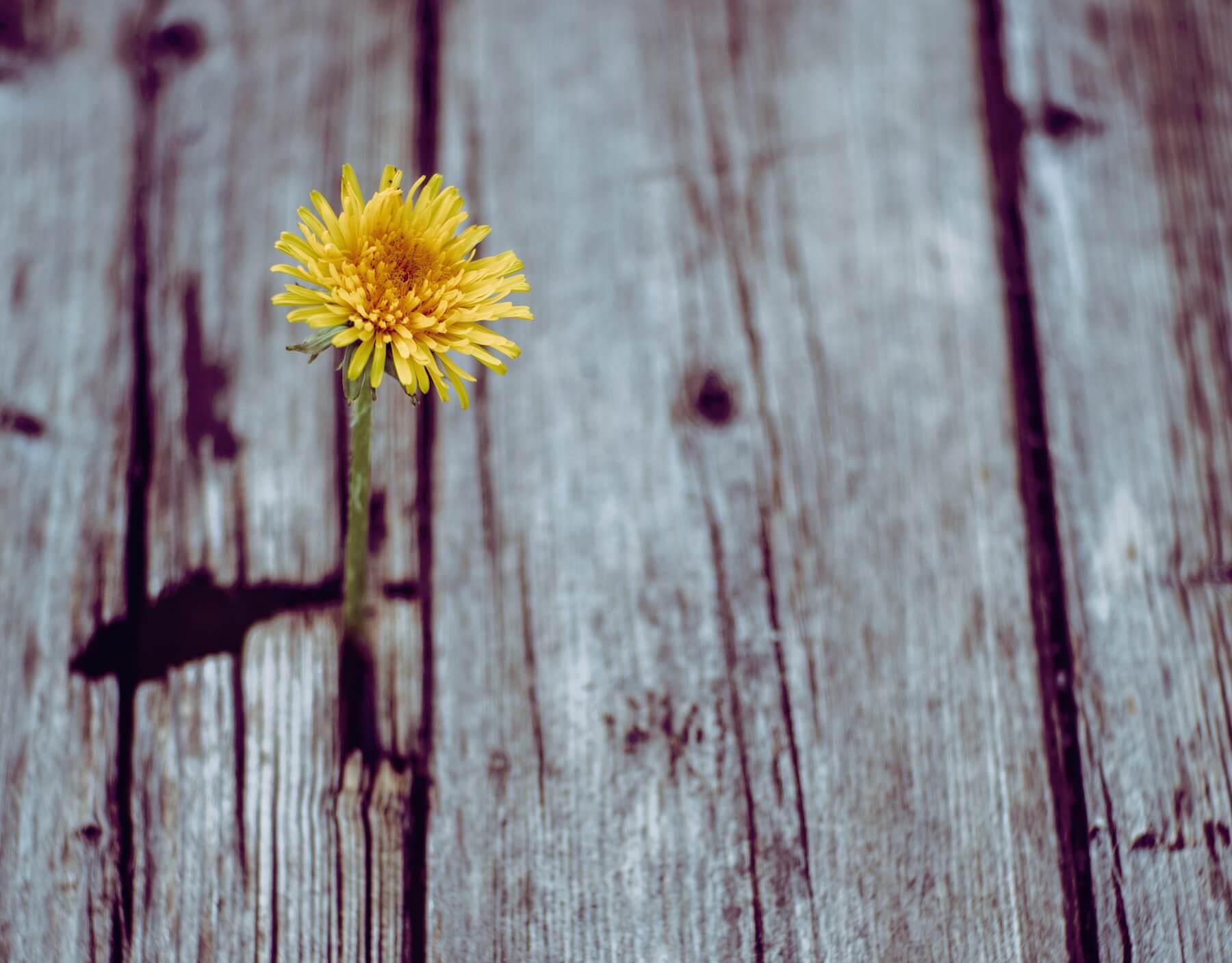Einzelne Blume durch Holzboden